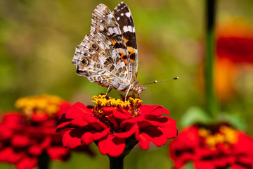 Portrait of painted lady butterfly on the red flower in the summer garden