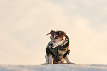 Little cute handsome Jack Russell Terrier dog, 12 years old,  with protective clothing in nature be on the move in front of atmospheric cloudy sky