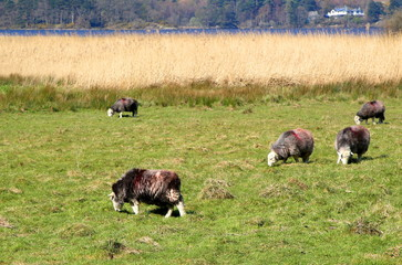 Group of Herdwick sheep grazing in a grass field in the English Lake District, with a lake in the distance, in bright sunshine