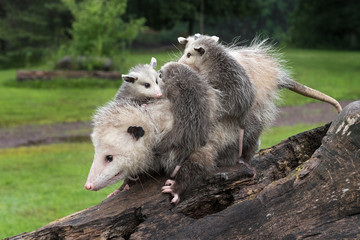 Fototapete - Profile of Virginia Opossum (Didelphis virginiana) Walking Down Log With Joeys on Her Back Summer