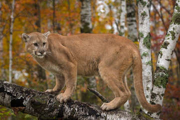 Adult Male Cougar (Puma concolor) Stares Back Atop Birch Branch Autumn
