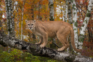 Canvas Prints Puma Adult Male Cougar (Puma concolor) Stares Out from Atop Birch Branch Autumn