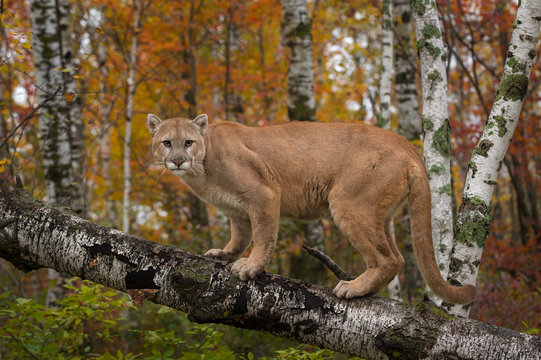 Adult Male Cougar (Puma concolor) Stares Out from Atop Birch Branch Autumn