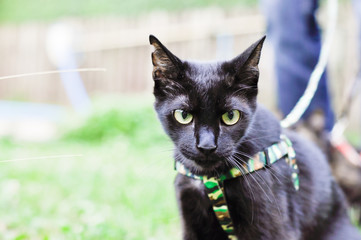 Black tomcat learning how to walk on leash
