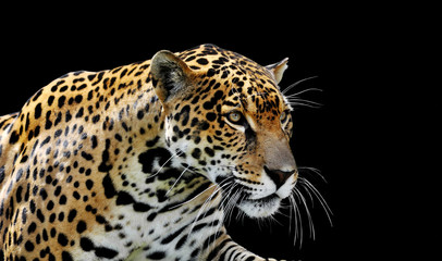 Photo sur Toile Panthère Beautiful jaguar portrait