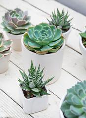 Small pots of assorted individual succulents