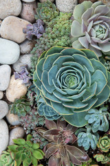 Colorful succulents planted together