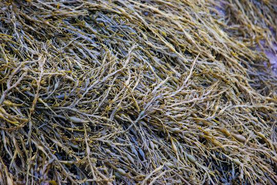 knotted wrack brown seaweed