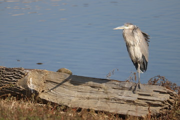 Heron on an Log