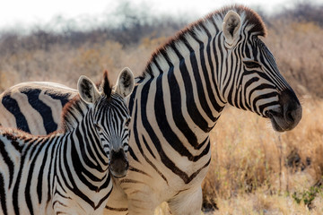 Zebras (mother and son) at Etosha national park in Namibia, Africa	 Wall mural