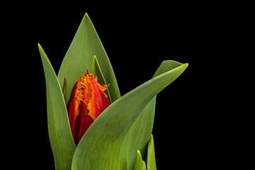 Single orange tulip flower opening on black background