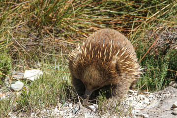 Short-beaked Echidna (Tachyglossus aculeatus) in the wild