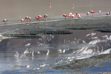 Reflection in lake of snow covered mountain with flamingos, Salar de Uyuni, Bolivia