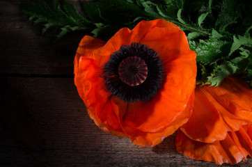 Red poppy flower on a dark wooden background. Red flowers photo with selective light.