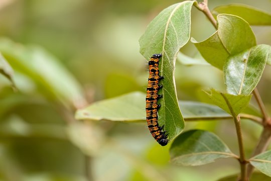 Beautiful black and orange colored Caterpillar crawls on a green leaf, against defocused background, Pantanal Wetlands, Mato Grosso, Brazil