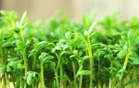 fresh green sprouts of cultivated garden cress