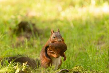 Tuinposter Eekhoorn écureuil avec son petit