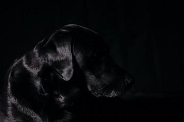 Shiny Black Labrador in Silhouette Ear