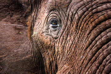 Foto op Canvas Olifant Elephants in the Kruger National Park South Africa