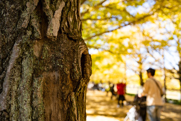 写真素材: イチョウ科 公孫樹 鴨脚樹の写真