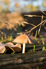 Pilz auf Holz