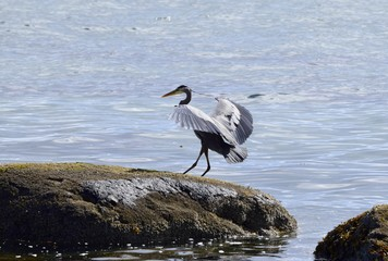 Great Blue Heron with wide spread wings  landing on a rock on the ocean shore