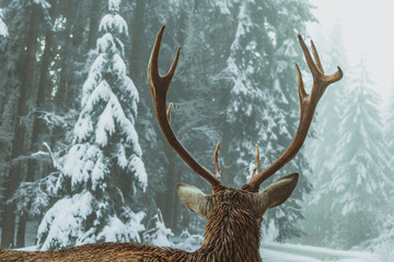 deer horns from the back against the background of coniferous forest