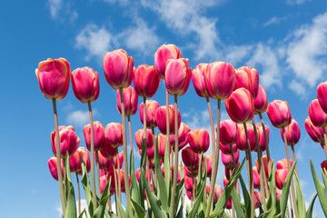 Red tulips in spring time with blue sky background