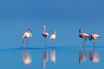 Wild african birds. Group birds of pink african flamingos  walking around the blue lagoon on a sunny day Wall mural