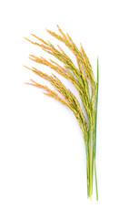 rice plant isolated on white background