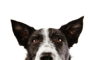 close-up curious border collie dog eyes. Isolated on white background.