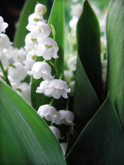 Photo sur Plexiglas Muguet de mai Muguet - Lily of the valley