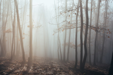 Misty forest with dense fog.  Fototapete