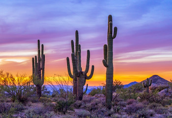 Aluminium Prints Arizona Stand of Saguaro Cactus At Sunset In Arizona