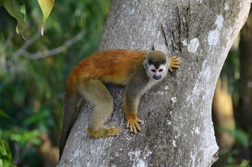 Photo sur Plexiglas Singe singe sapajou