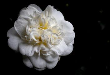 Obraz kamelia biała kwiat - fototapety do salonu
