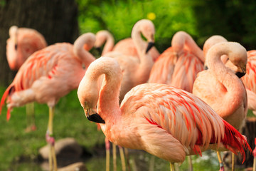 In de dag Flamingo Pink Greater Flamingos, Phoenicopterus are in the water. Flamingos cleaning feathers. Wildlife scene from nature.