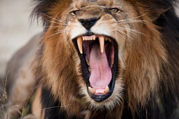Fotobehang Leeuw LION FOUND IN THE TANZANIAN NATIONAL PARKS