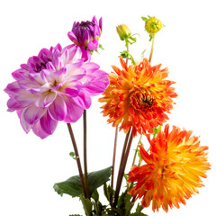 Cadres-photo bureau Dahlia Isolated colourful dahlia flowers over white background