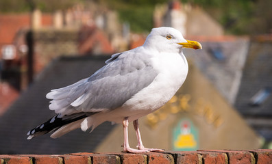Foto auf AluDibond Straus Seagull / Herring gull in sunshine on rooftop at English seaside town