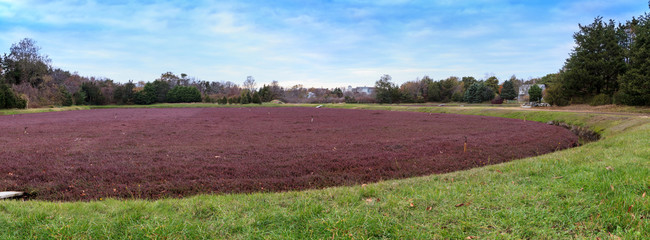 Cranberry bog in the fall on Cape Cod in New England