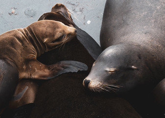 Sleepy Sea Lion Parents and Pup