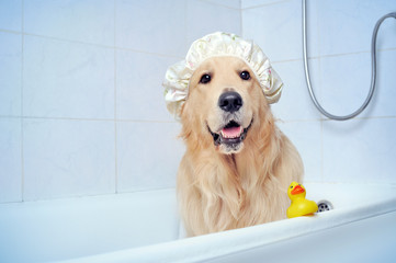 Golden retriever in a shower hat sitting in the bathtub