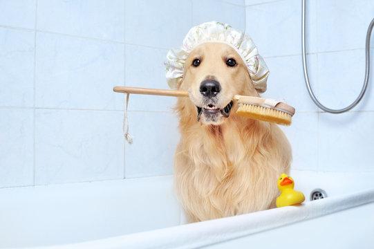 Golden retriever in a bathtub holding bath sponge in mouth