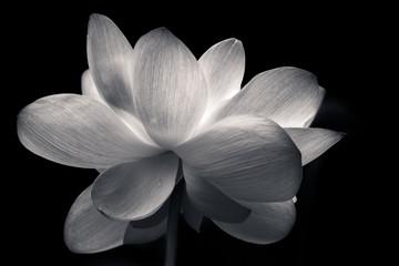 Printed roller blinds Lotus flower Lotus in Full Bloom