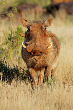 A large warthog (Phacochoerus africanus) in natural habitat, South Africa.
