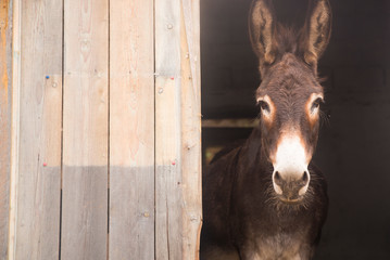 Foto op Canvas Ezel Portrait of a donkey on farm.