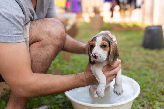 cute puppy beagle taking a shower with owner