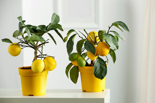 Nice delicate decorations on small white table. Lemon tree in yellow flowerpot in bright white colors with picture frame with blurred white wall background.