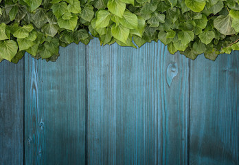 Wood planks covered by green leaves. Green ivy leaves climbing on wooden fence. Natural background texture.